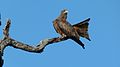 Yellow-billed Kite (Milvus aegyptius) (6025387357).jpg