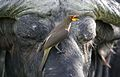 Yellow-billed oxpecker, Buphagus africanus, on Cape buffalo in Chobe National Park, Botswana. (32370474525).jpg