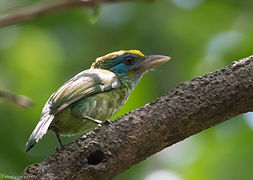 Yellow-fronted Barbet at Bodhinagala.jpg