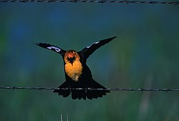 Yellow-headed blackbird landing on barbed wire.jpg