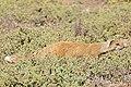Yellow Mongoose (Cynictis penicillata) (30427664132).jpg