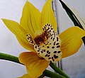Yellow Orchid (2573402422).jpg