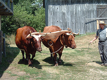 Yoked oxen at Old World Wisconsin. They finall...