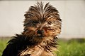 Yorkshireterrier2.jpg