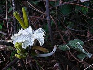 Cecropia - Young Cecropia. Kourou, French Guiana