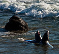 Young Elephant Seals (10803344166).jpg
