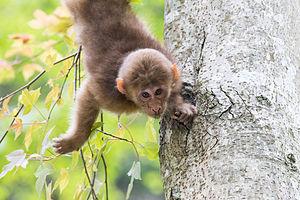 Tibetan macaque - Image: Young Tibetan Macaque