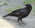 Young bird Carrion crow IMG 0083.jpg