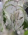 Yponomeuta evonymella Oulu 20140629 02.JPG