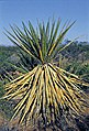 Yucca confinis fh 1183.7 AZ BB.jpg