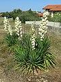 Yucca filamentosa (Capbreton)2.jpg