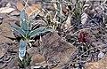 Yucca harrimanniae subsp. sterilis fh 1179.78 Sclerocactus wetlandicus subsp. ilseae fh 0701 UT B.jpg