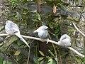 Yvoire Jardin Cinq Sens colombes diamants.jpg