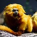 Zürich Zoo Golden lion tamarin (16373906611).jpg