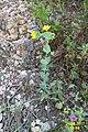 Zakynthos flora (35729691052).jpg