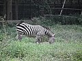 Zebra from Bannerghatta National Park 8695.JPG