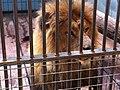 Zoo løve - panoramio.jpg