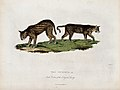 Zoological Society of London; two ocelots. Coloured etching Wellcome V0023112.jpg