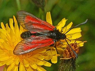 <i>Zygaena purpuralis</i> Species of moth