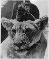 """Dolly"" a proud ""British Lioness"" is fighting with allied front-line forces. She is mascot of a South African Pioneer... - NARA - 196357.tif"