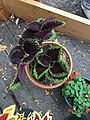 'Giant Exhibition Magma' coleus IMG 1036.jpg