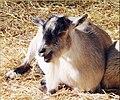 'Ha, that's a good one!' Tree Farm, Goats 12-8-12h (8298286838).jpg