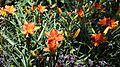 'Hemerocallis Prime Minister' in Walled Garden of Parham House West Sussex England 1.jpg