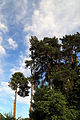 'Pinus sylvestris' Scots Pine at Staplefield, West Sussex, England 01.jpg