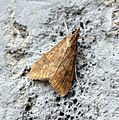 (1395) Rusty Dot Pearl (Udea ferrugalis) (15169785292).jpg