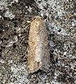 (2385) Small Mottled Willow (Spodoptera exigua) (5915977912).jpg
