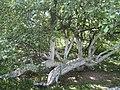 «Яблуня-колонія», ботанічна пам'ятка природи-4.JPG