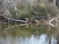 Ànecs collverd a l'estany del braç de la Vidala P1100388.jpg