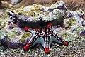 Étoile de mer à cornes, Protoreaster nodosus.jpg