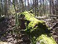 Łagiewniki Forrest in Spring 4.jpg