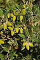 Αριά (Quercus ilex).jpg