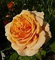 Англійська троянда Д.Остіна Charles Austin.jpg