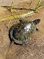 Блатна костенурка.jpg