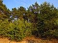 Бор на третьей надпойменной террасе р. Северский Донец над озером Перегон.jpg