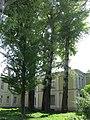 Група вікових дерев тополі білої, військовий шпиталь 01.jpg