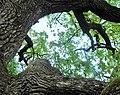 Дуби — Голосіївські велетні, велике дерево.jpg
