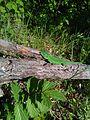 Зеленая ящерица греется.jpg