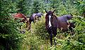 Карпатські коні.jpg