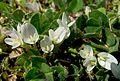 Клевер подземный - Trifolium subterraneum - Subterranean clover, often shortened to Subclover (Burrowing Clover) - Bodenfrüchtige Klee (25931460454).jpg