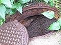 Невская Дубровка август 2011 года. Открытый канализационный люк на ул. Набережная - panoramio.jpg
