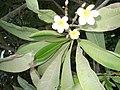 Неизвестный цветок в Шарм-эш-Шэйхе 01.jpg