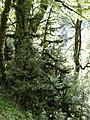 Сказочный лес (дорога к Гегскому водопаду) - panoramio.jpg