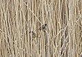 Тростниковая овсянка (Камышовая овсянка) - Emberiza schoeniclus - Common reed bunting - Тръстикова овесарка - Rohrammer (25942401081).jpg