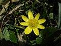 Чистяк весенний - Ranunculus ficaria (Ficaria verna) - Lesser celandine - Жълтурче - Scharbockskraut (16720378826).jpg