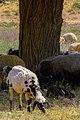 عکس گوسفند- روستاهای اطراف قم.jpg