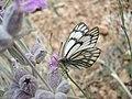 پروانه زیبا - panoramio.jpg